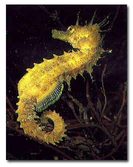 L'hippocampus guttulatus.
