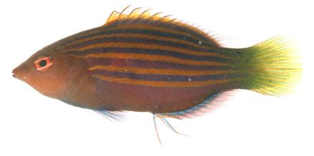 Pseudocheilinus hexataenia
