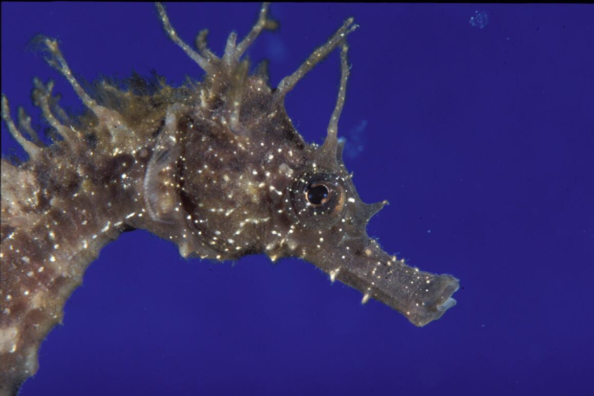 Hippocampus ramulosus.