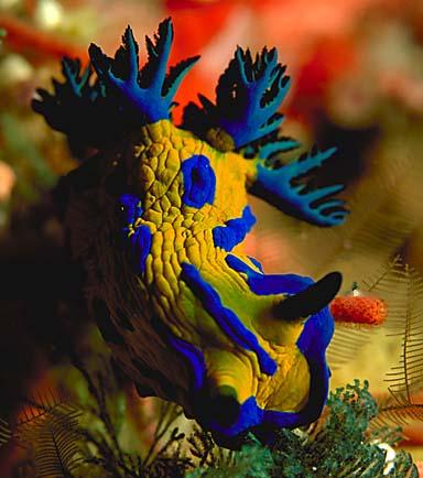 Un Nudibranche.