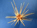 Le plococidaris verticillata.