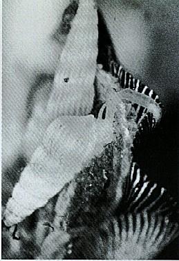 Pyramidellacea sp.