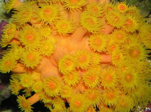 nourrir ces coraux Tubastrea