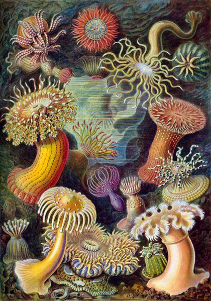 Planche (1904) de Ernst Haeckel, biologiste allemand.